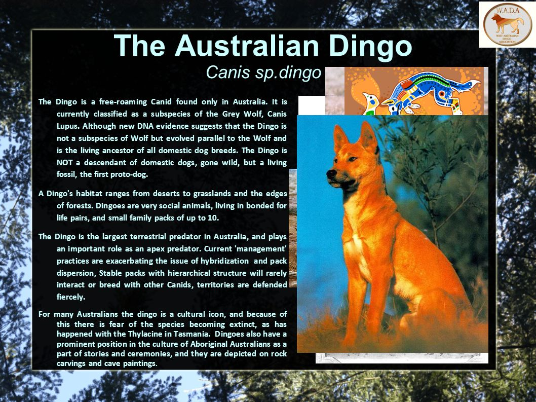 The Australian Dingo Canis sp.dingo The Dingo is a free-roaming Canid found only in Australia.