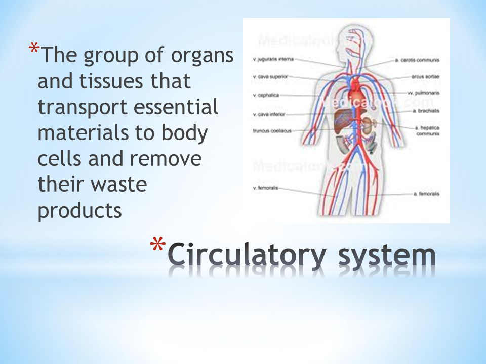 * The group of organs and tissues that transport essential materials to body cells and remove their waste products