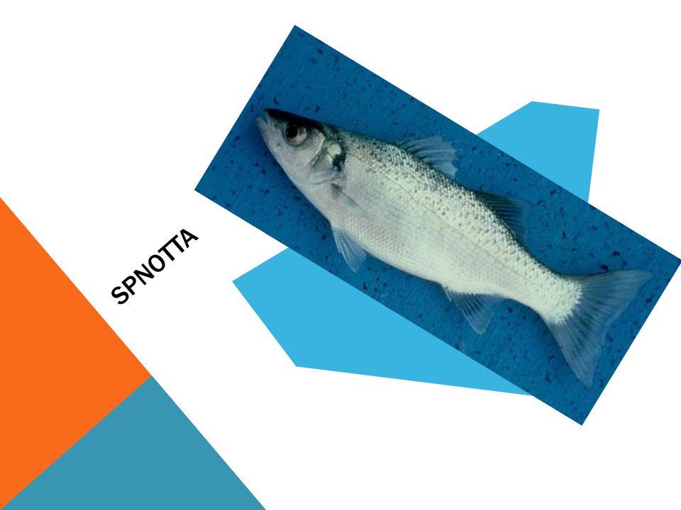 SPNOTTA