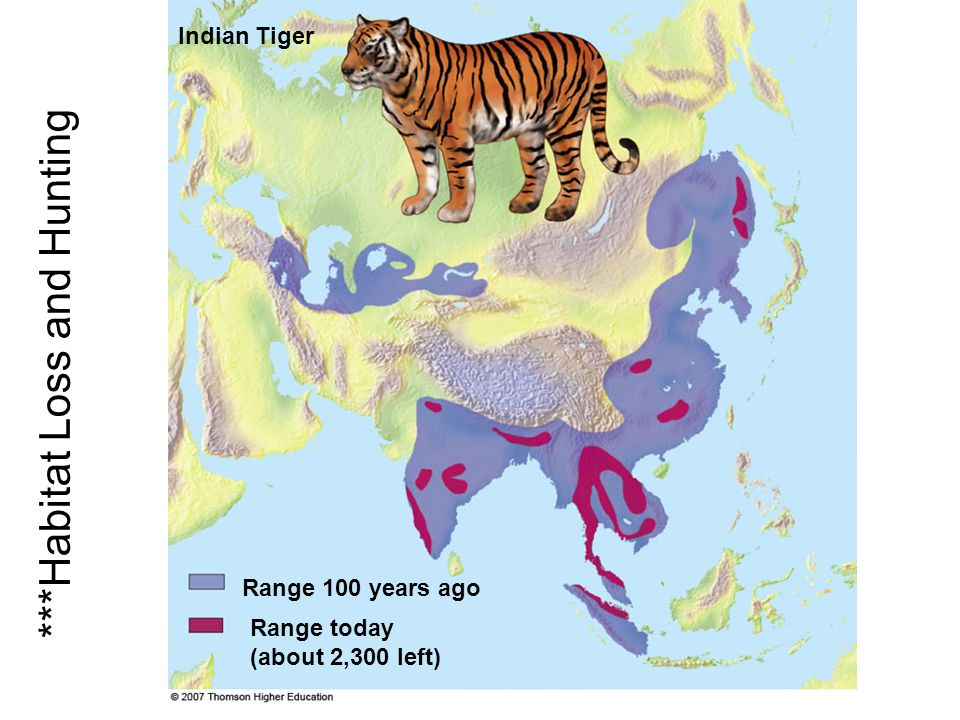Range 100 years ago Indian Tiger Range today (about 2,300 left) ***Habitat Loss and Hunting