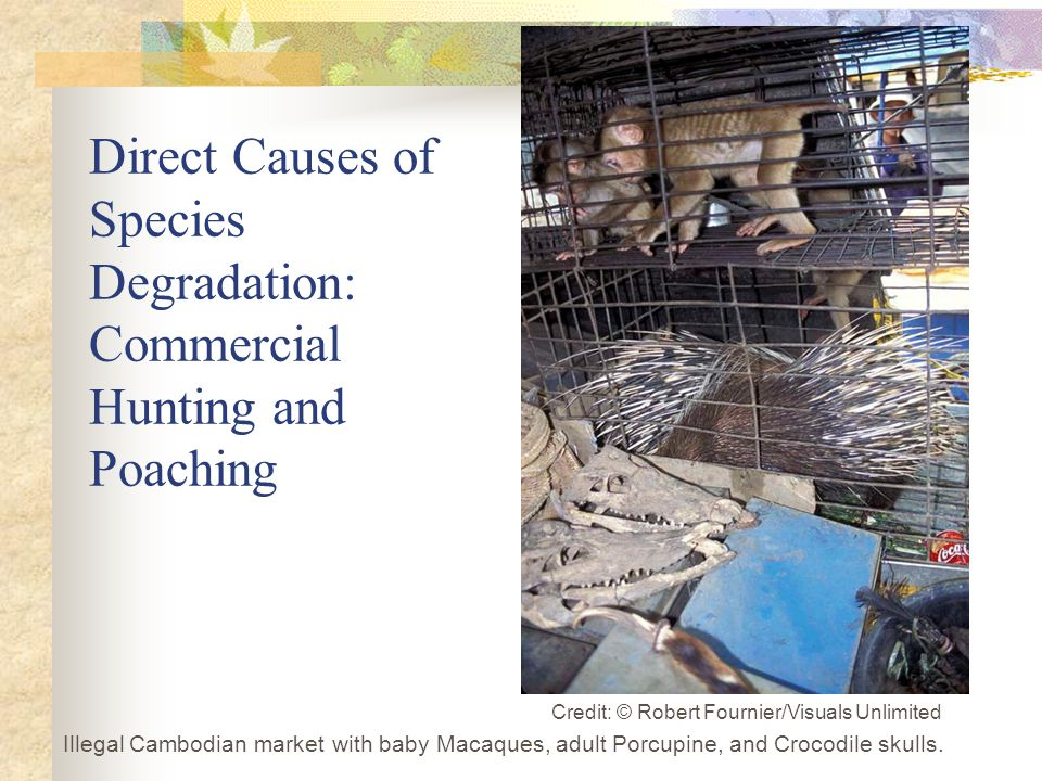 Illegal Cambodian market with baby Macaques, adult Porcupine, and Crocodile skulls.