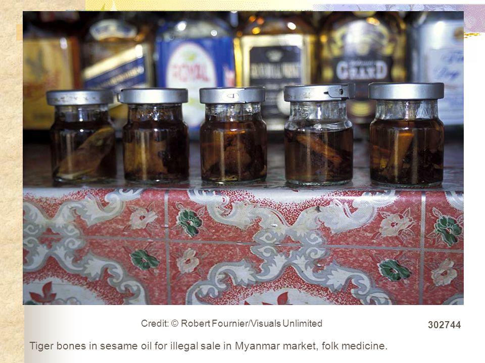 Tiger bones in sesame oil for illegal sale in Myanmar market, folk medicine.