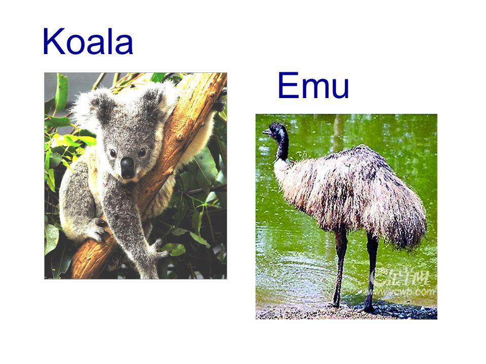 Koala Emu