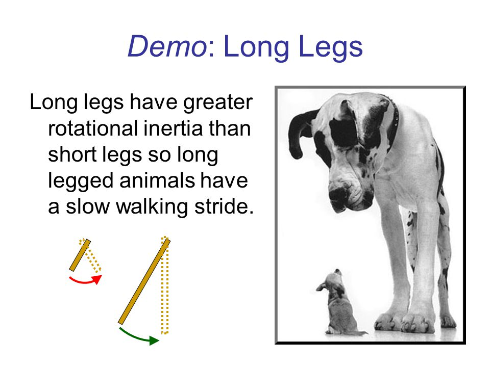 Demo: Long Legs Long legs have greater rotational inertia than short legs so long legged animals have a slow walking stride.
