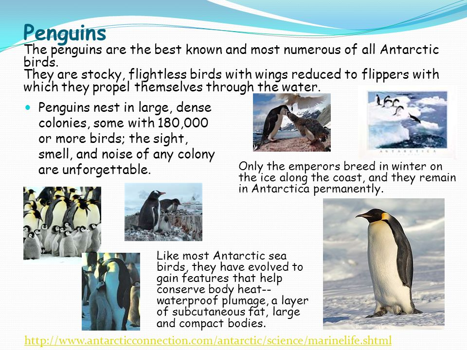 Penguins The penguins are the best known and most numerous of all Antarctic birds. They are stocky, flightless birds with wings reduced to flippers wi