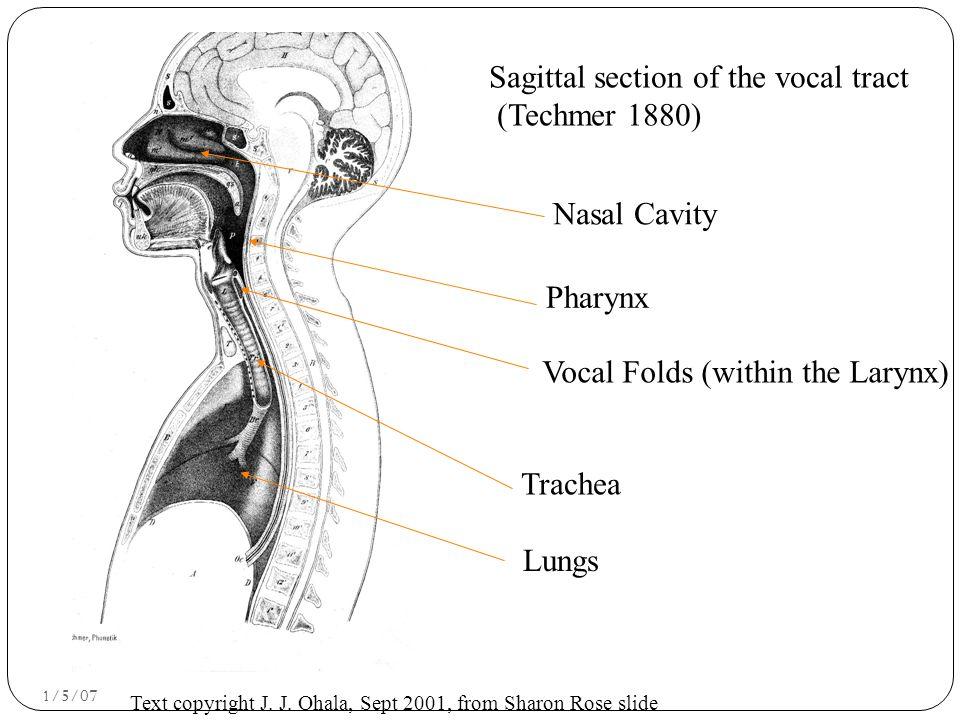 1/5/07 Nasal Cavity Pharynx Vocal Folds (within the Larynx) Trachea Lungs Text copyright J.