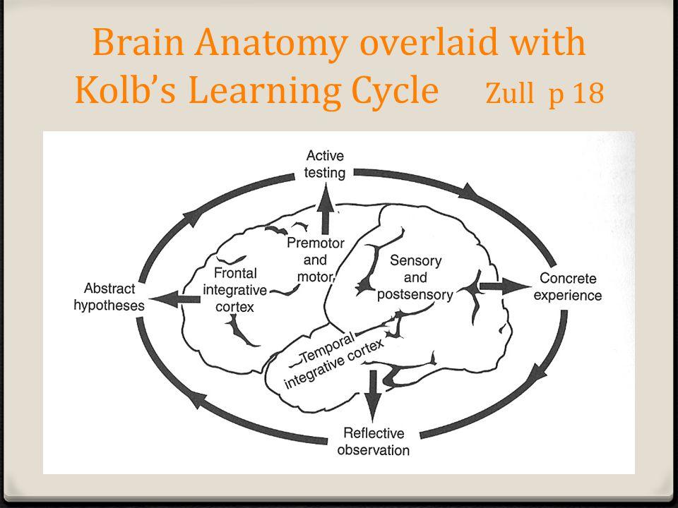 Brain Anatomy overlaid with Kolbs Learning Cycle Zull p 18