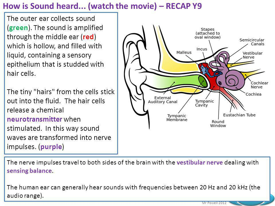 Mr Powell 2012 Index How is Sound heard... (watch the movie) – RECAP Y9 The outer ear collects sound (green). The sound is amplified through the middl