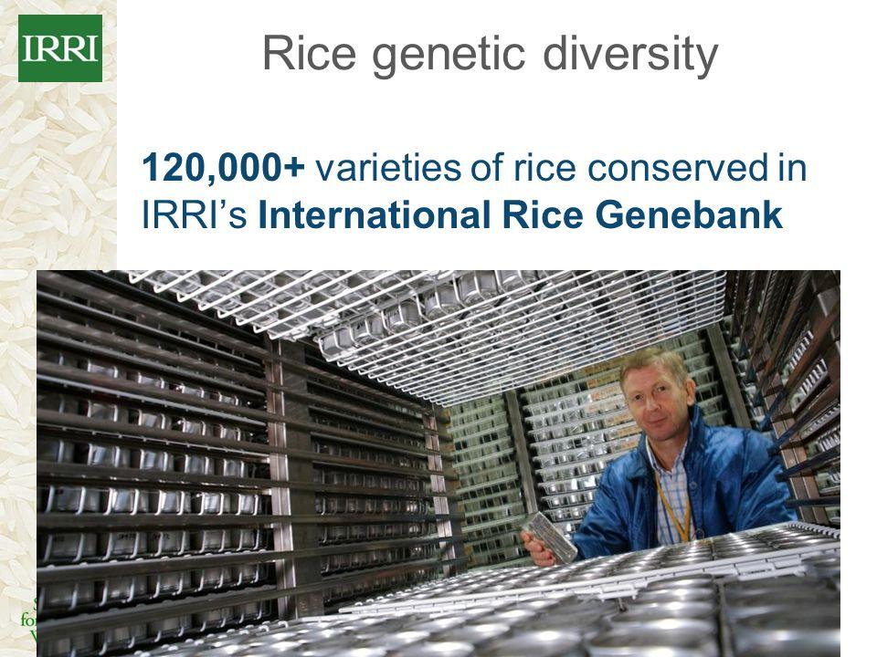 Rice genetic diversity 120,000+ varieties of rice conserved in IRRIs International Rice Genebank