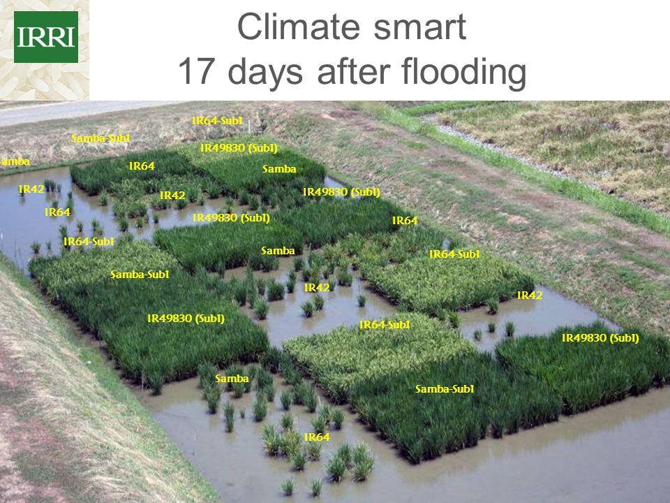 Climate smart 17 days after flooding Samba-Sub1 Samba Samba-Sub1 IR64-Sub1 IR49830 (Sub1) IR64 IR42 IR64 IR64-Sub1 Samba-Sub1 IR49830 (Sub1) Samba IR6