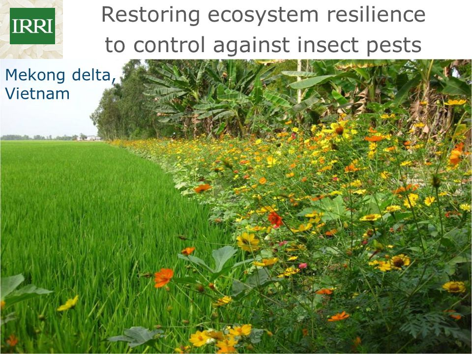 Restoring ecosystem resilience to control against insect pests Mekong delta, Vietnam