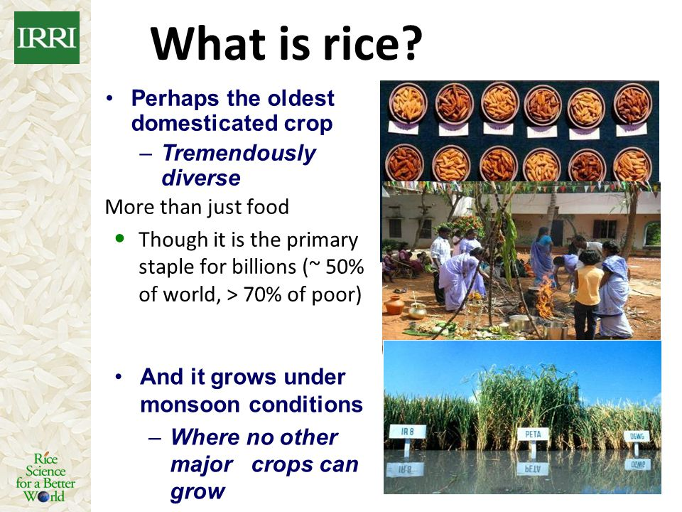 What is rice? More than just food Though it is the primary staple for billions (~ 50% of world, > 70% of poor) Perhaps the oldest domesticated crop –T