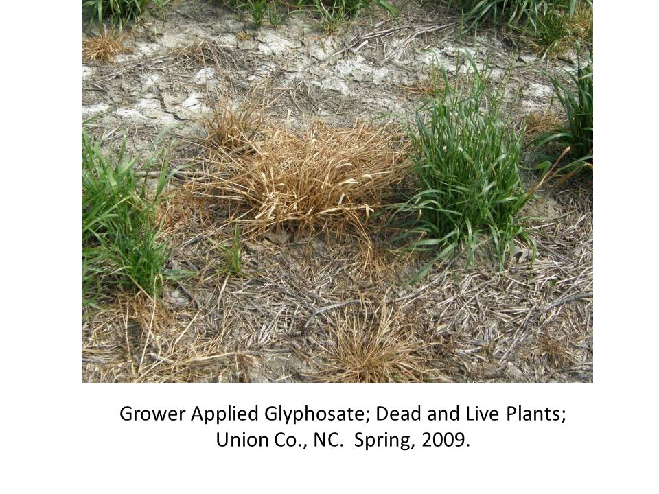 Grower Applied Glyphosate; Dead and Live Plants; Union Co., NC. Spring, 2009.