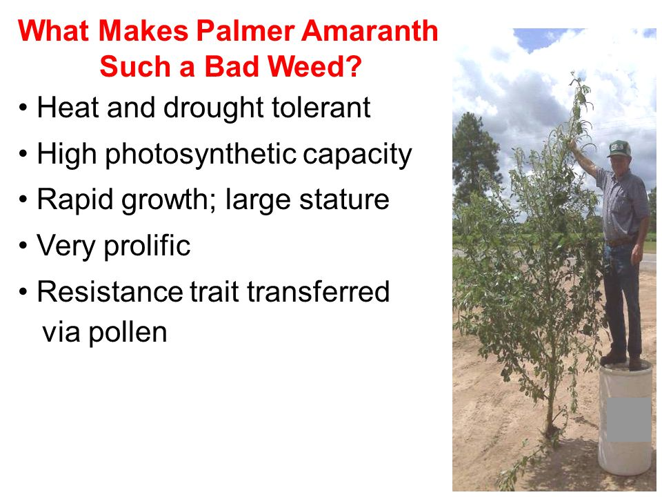 What Makes Palmer Amaranth Such a Bad Weed.