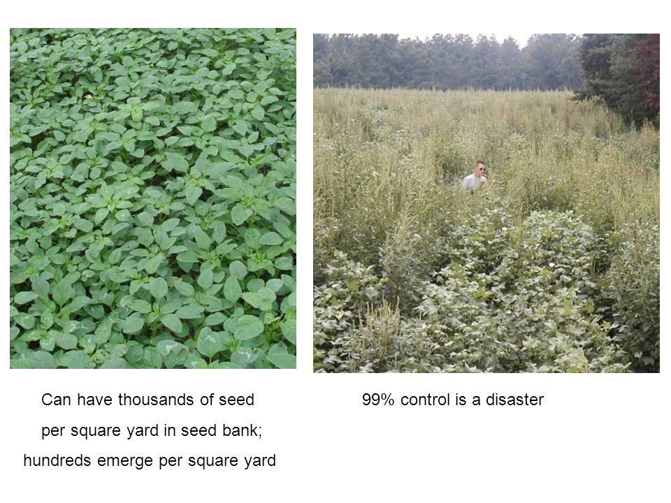 Can have thousands of seed 99% control is a disaster per square yard in seed bank; hundreds emerge per square yard