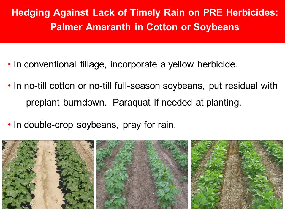 Hedging Against Lack of Timely Rain on PRE Herbicides: Palmer Amaranth in Cotton or Soybeans In conventional tillage, incorporate a yellow herbicide.