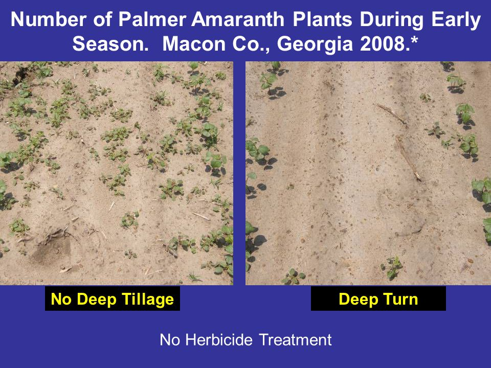 No Deep TillageDeep Turn No Herbicide Treatment Number of Palmer Amaranth Plants During Early Season.