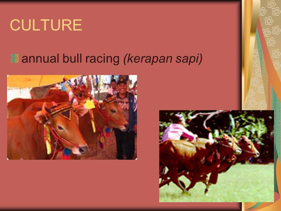CULTURE annual bull racing (kerapan sapi)