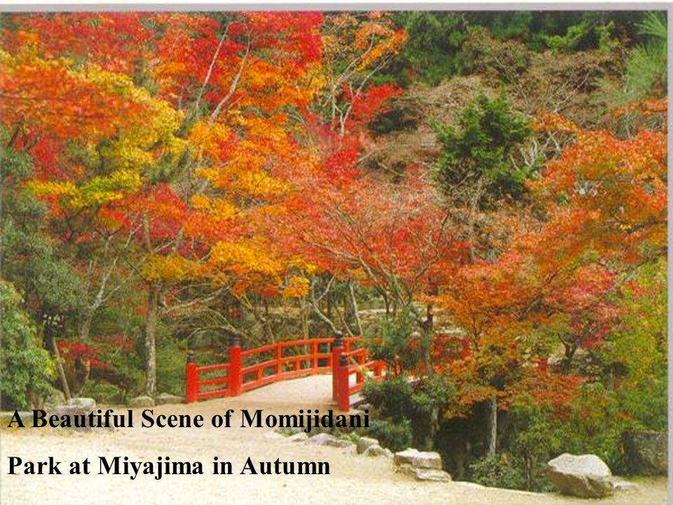 A Beautiful Scene of Momijidani Park at Miyajima in Autumn