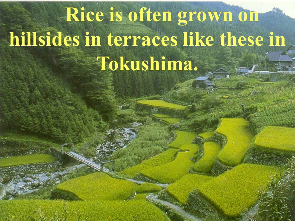 Rice is often grown on hillsides in terraces like these in Tokushima.