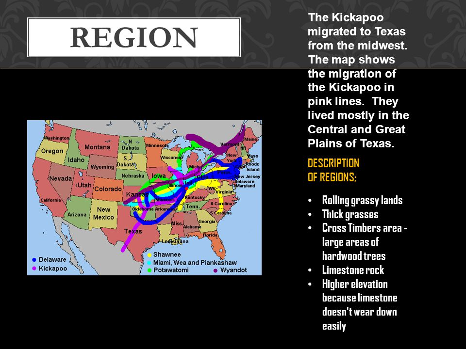 REGION The Kickapoo migrated to Texas from the midwest. The map shows the migration of the Kickapoo in pink lines. They lived mostly in the Central an