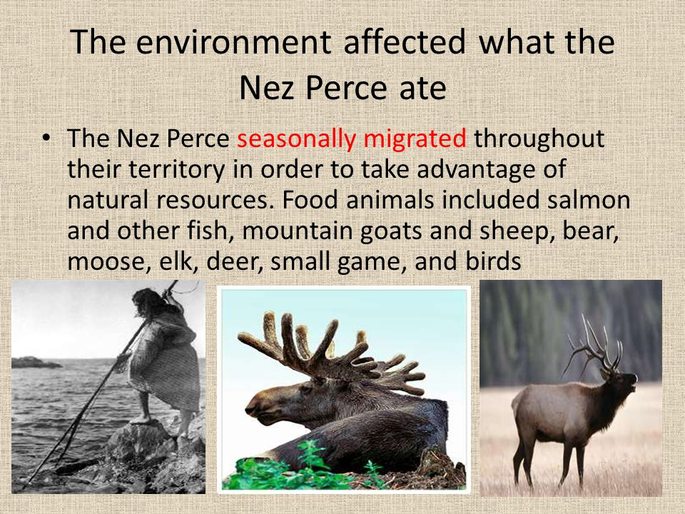 The environment affected what the Nez Perce ate The Nez Perce seasonally migrated throughout their territory in order to take advantage of natural res
