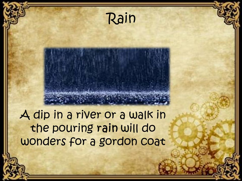 Rain A dip in a river or a walk in the pouring rain will do wonders for a gordon coat