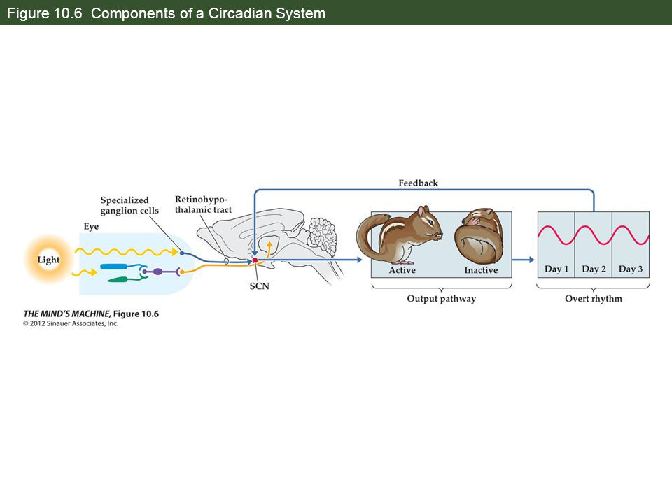 Figure 10.6 Components of a Circadian System