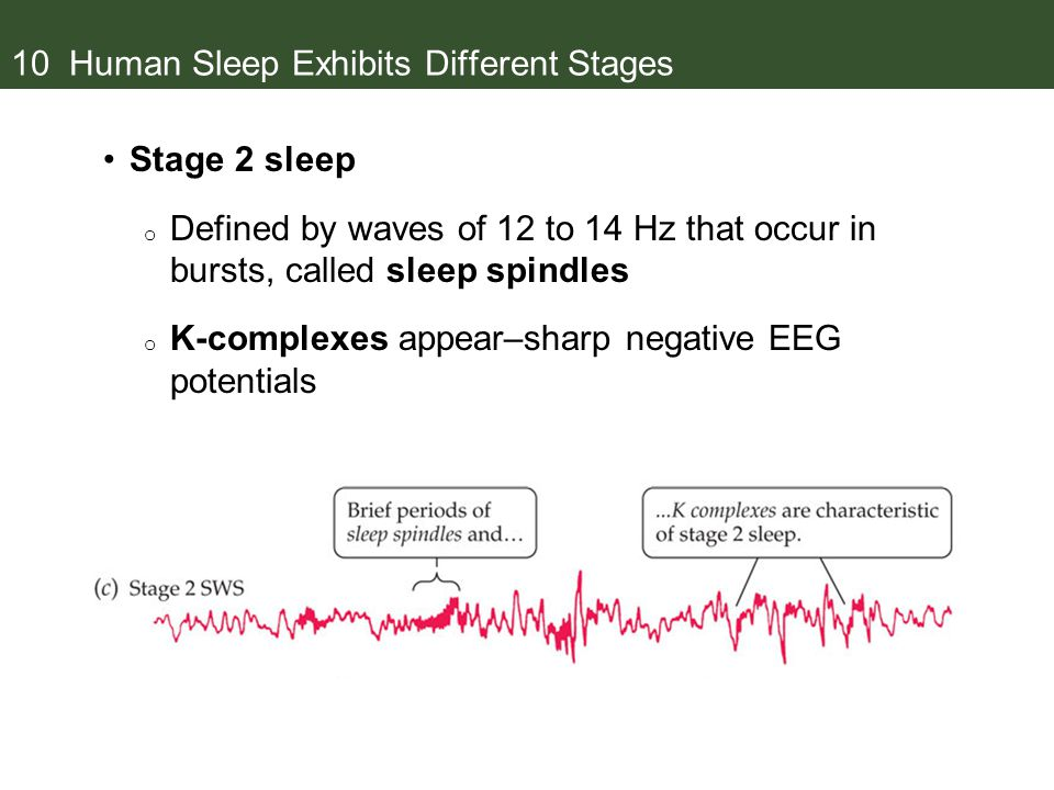 10 Human Sleep Exhibits Different Stages Stage 2 sleep o Defined by waves of 12 to 14 Hz that occur in bursts, called sleep spindles o K-complexes appear–sharp negative EEG potentials