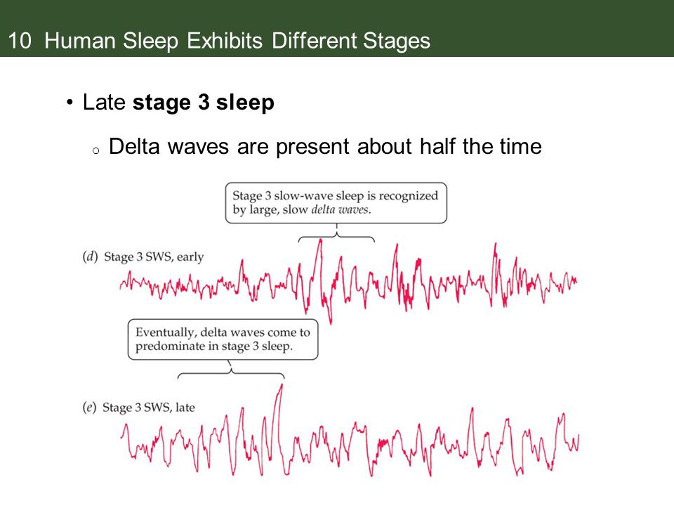 10 Human Sleep Exhibits Different Stages Late stage 3 sleep o Delta waves are present about half the time