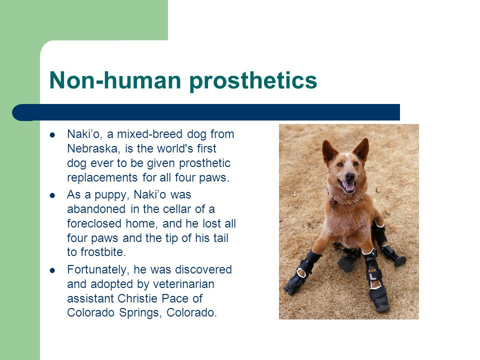 Non-human prosthetics Nakio, a mixed-breed dog from Nebraska, is the world s first dog ever to be given prosthetic replacements for all four paws.