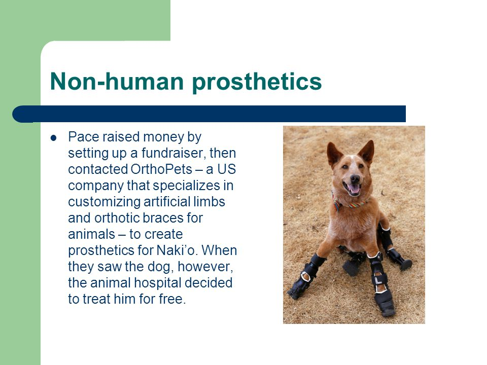Non-human prosthetics Pace raised money by setting up a fundraiser, then contacted OrthoPets – a US company that specializes in customizing artificial limbs and orthotic braces for animals – to create prosthetics for Nakio.