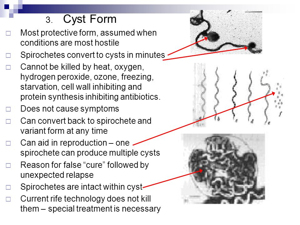 3. Cyst Form Most protective form, assumed when conditions are most hostile Spirochetes convert to cysts in minutes Cannot be killed by heat, oxygen,
