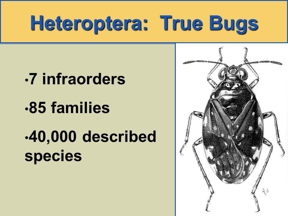 Heteroptera: True Bugs 7 infraorders 85 families 40,000 described species