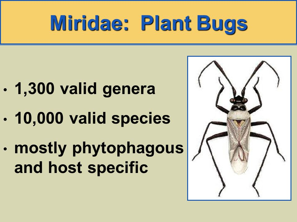 Miridae: Plant Bugs 1,300 valid genera 10,000 valid species mostly phytophagous and host specific