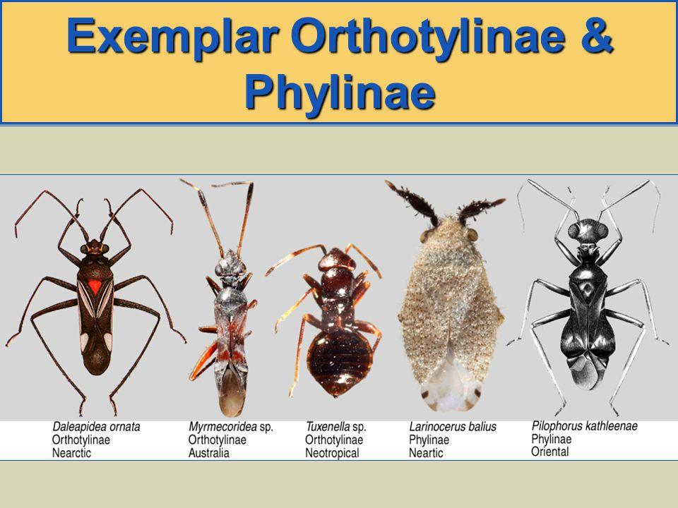 Exemplar Orthotylinae & Phylinae