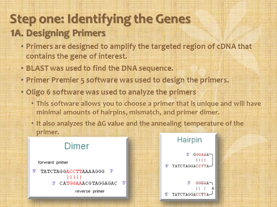 Step one: Identifying the Genes 1 A. Designing Primers Primers are designed to amplify the targeted region of cDNA that contains the gene of interest.