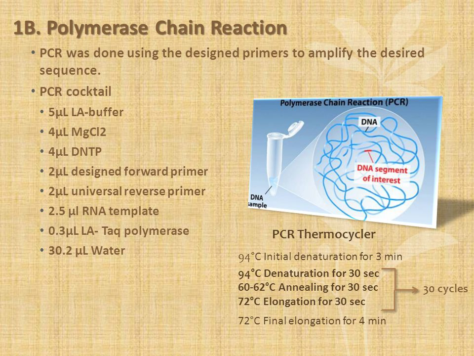 1B. Polymerase Chain Reaction PCR was done using the designed primers to amplify the desired sequence. PCR cocktail 5µL LA-buffer 4µL MgCl2 4µL DNTP 2