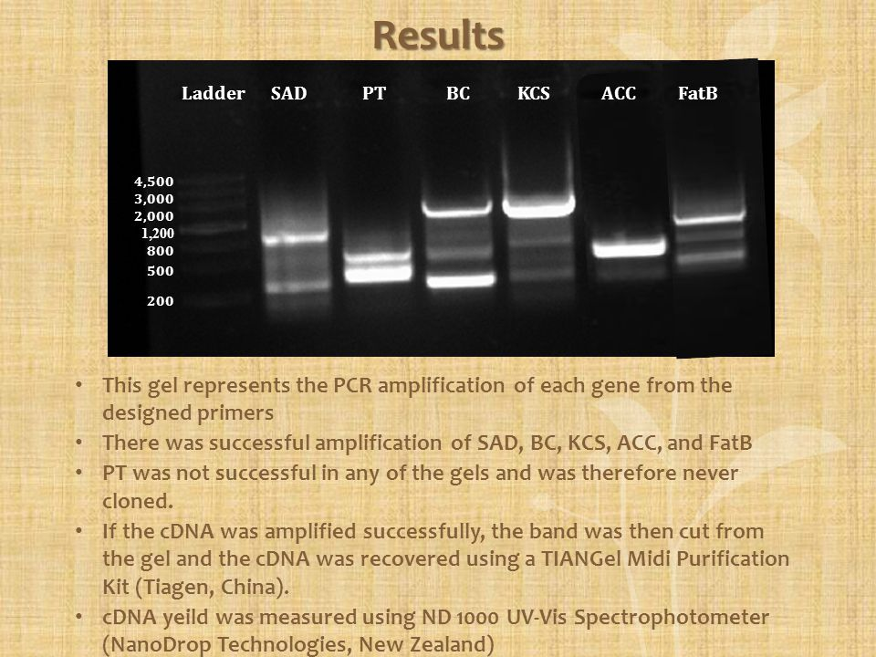 Results This gel represents the PCR amplification of each gene from the designed primers There was successful amplification of SAD, BC, KCS, ACC, and