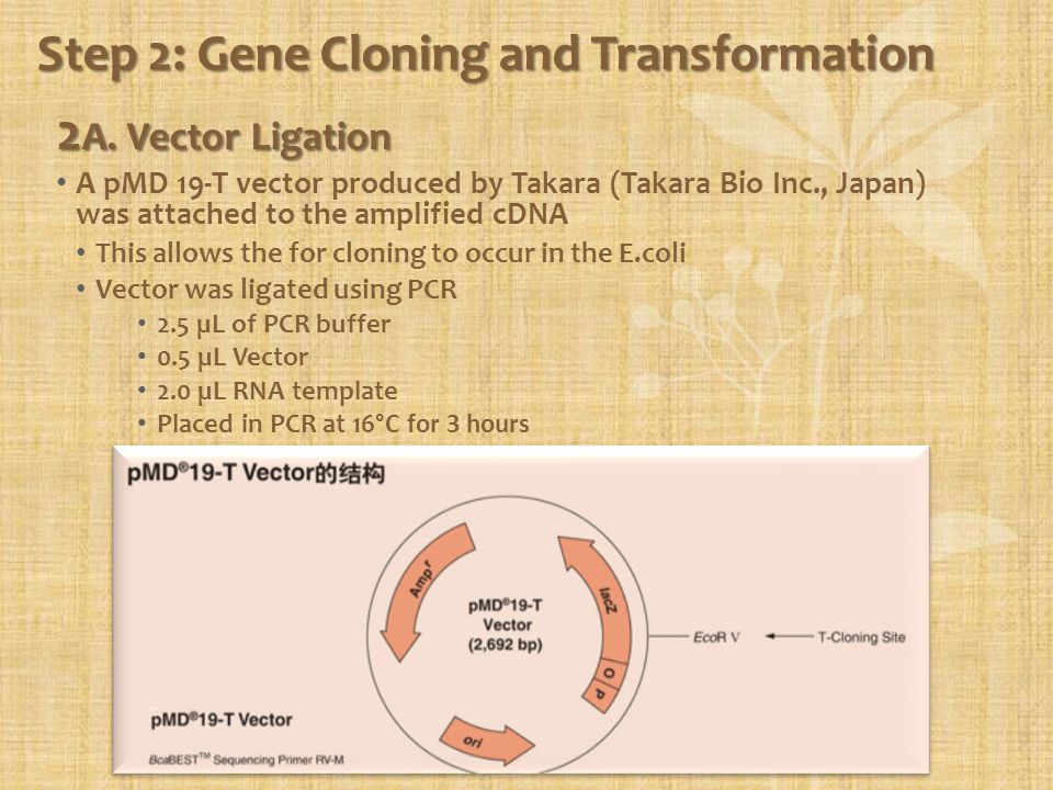Step 2: Gene Cloning and Transformation 2 A. Vector Ligation A pMD 19-T vector produced by Takara (Takara Bio Inc., Japan) was attached to the amplifi