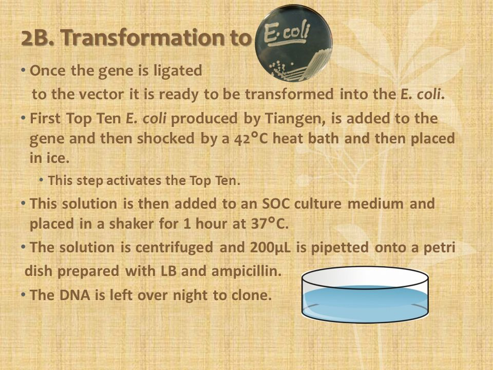 Once the gene is ligated to the vector it is ready to be transformed into the E. coli. First Top Ten E. coli produced by Tiangen, is added to the gene