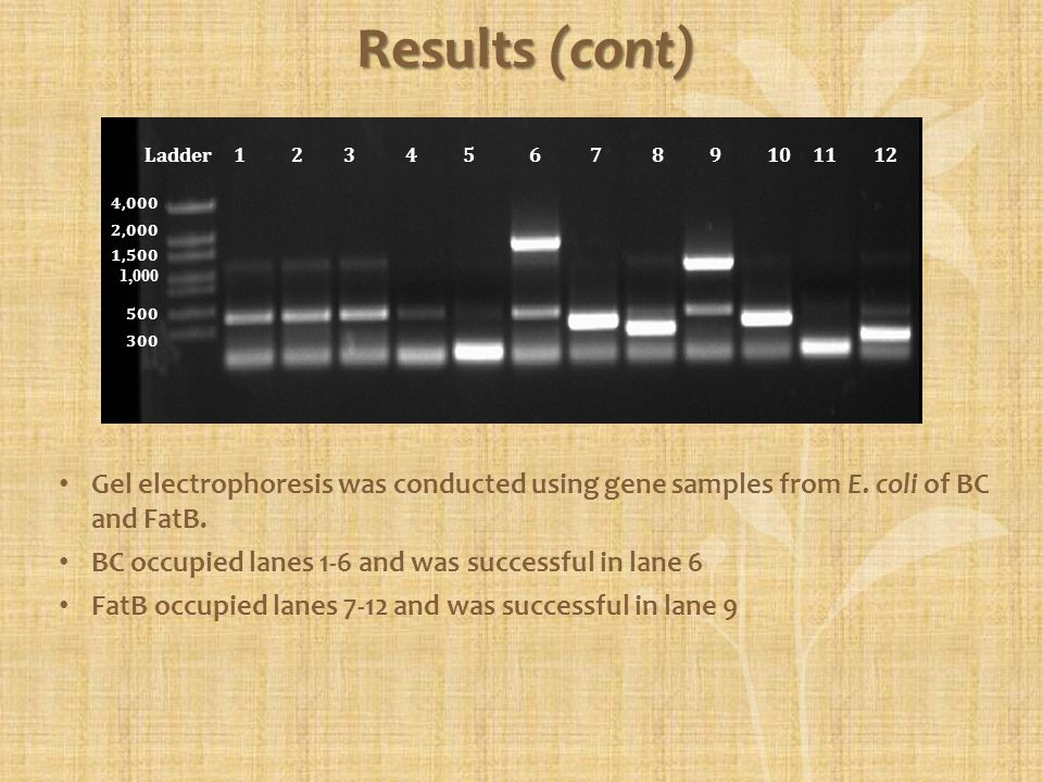 GenelocationSuccessful BC1-66 FatB7-129 Results (cont) Ladder 1 2 3 4 5 6 7 8 9 10 11 12 4,000 2,000 1,500 1,000 500 300 Gel electrophoresis was condu