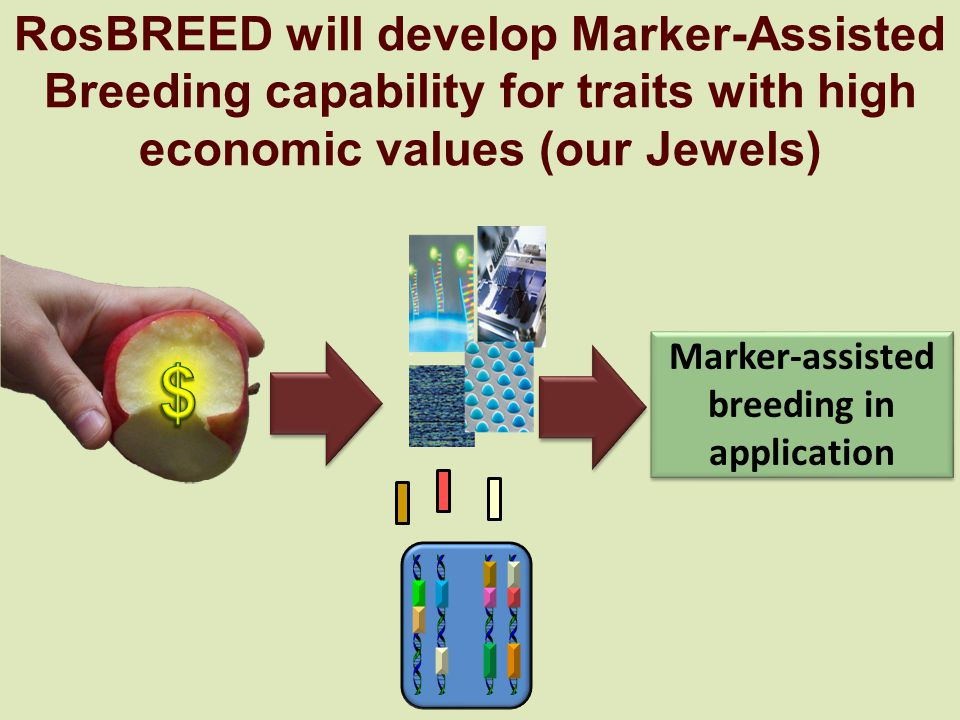 RosBREED will develop Marker-Assisted Breeding capability for traits with high economic values (our Jewels) Marker-assisted breeding in application