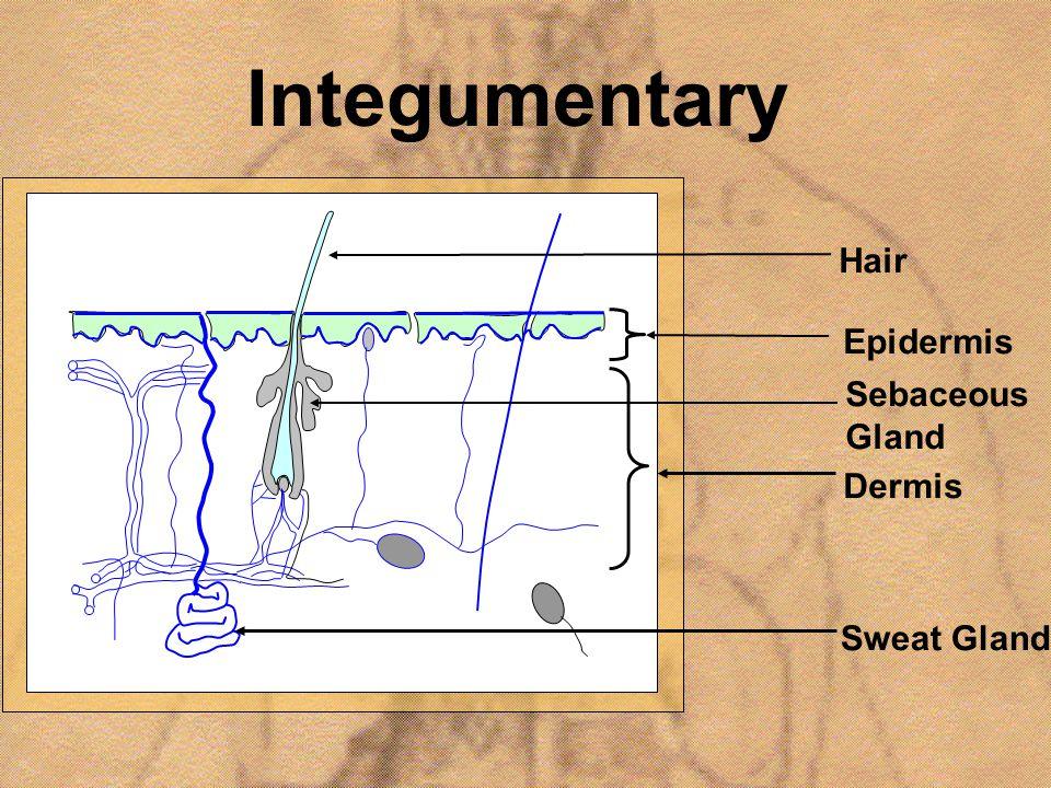 Integumentary Epidermis Dermis Sebaceous Gland Sweat Gland Hair
