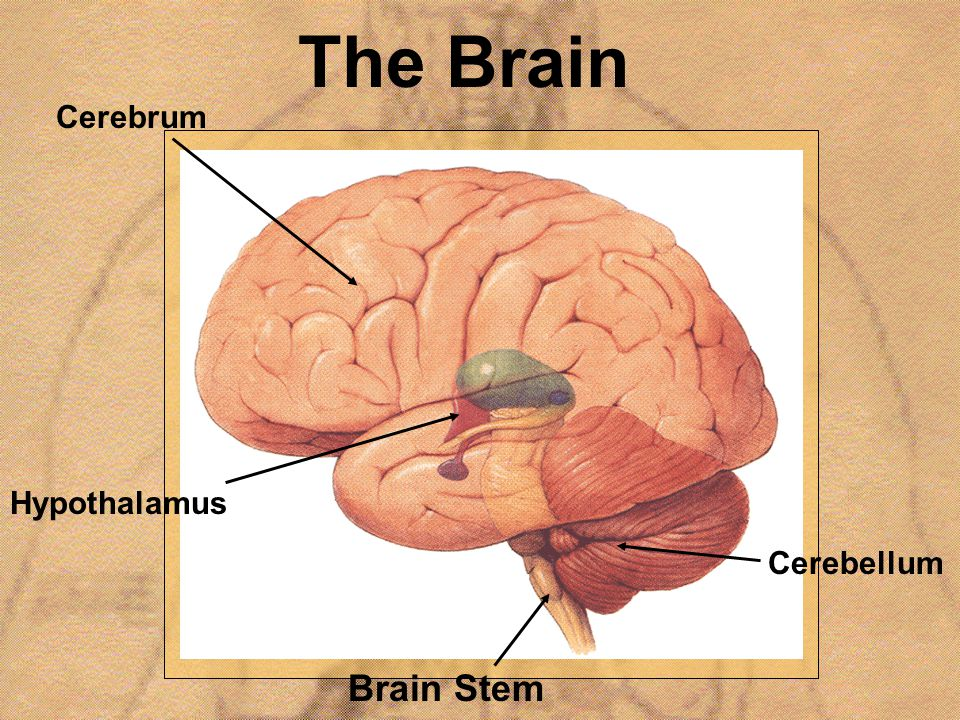 The Brain Hypothalamus Brain Stem Cerebrum Cerebellum