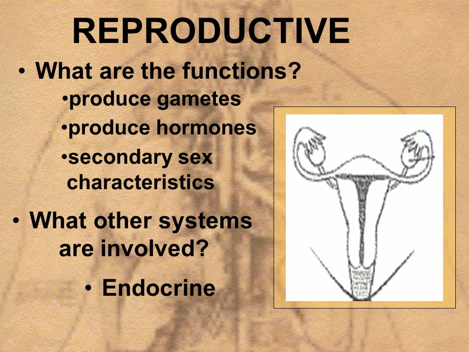 REPRODUCTIVE What are the functions? produce gametes secondary sex characteristics produce hormones What other systems are involved? Endocrine