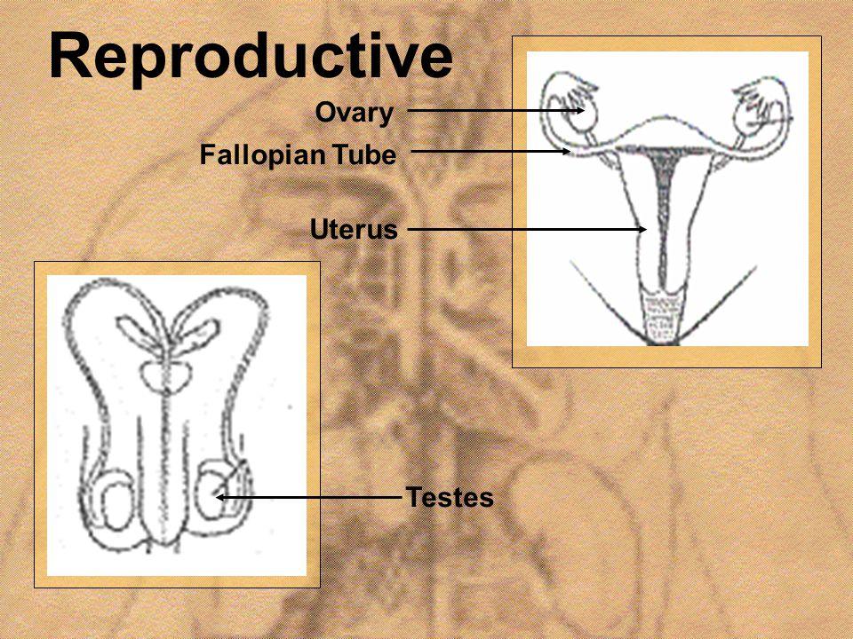 Reproductive Uterus Fallopian Tube Ovary Testes
