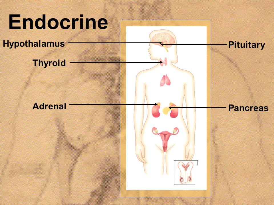Endocrine Hypothalamus Thyroid Adrenal Pituitary Pancreas