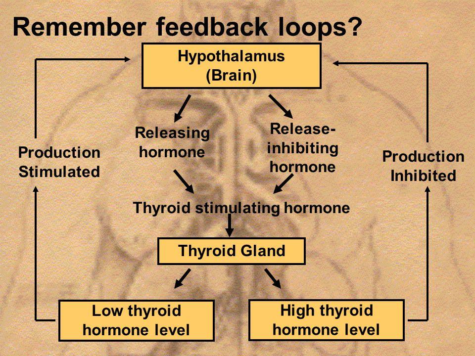 Remember feedback loops? Hypothalamus (Brain) Releasing hormone Release- inhibiting hormone Thyroid stimulating hormone Thyroid Gland Low thyroid horm