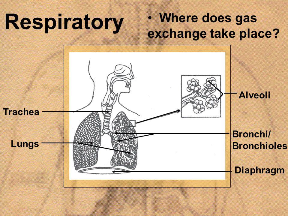 Respiratory Lungs Diaphragm Alveoli Trachea Bronchi/ Bronchioles Where does gas exchange take place?